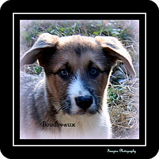 Siberian Husky/Border Collie Mix Puppy for adoption in Bryan, Texas - BEAUDREAUX