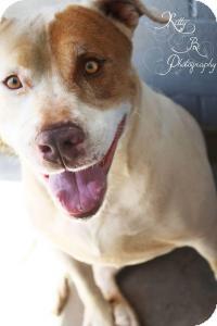 Pointer Mix Dog for adoption in Sierra Vista, Arizona - Charlie