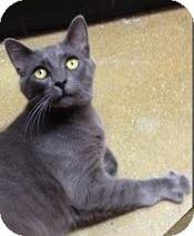 Russian Blue Kitten for adoption in Covington, Kentucky - Jackson