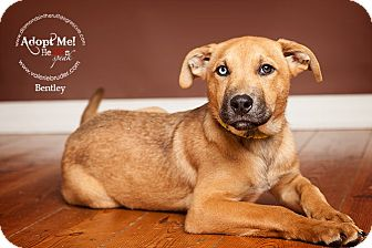 Labrador Retriever/Shepherd (Unknown Type) Mix Puppy for adoption in Philadelphia, Pennsylvania - Bentley
