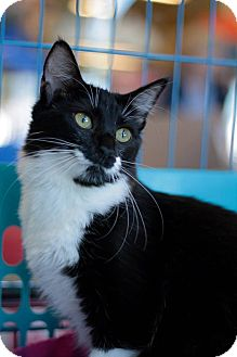 Domestic Shorthair Cat for adoption in Weatherford, Texas - Cupcake