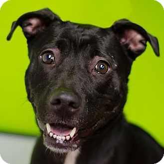 Pit Bull Terrier Mix Dog for adoption in Adrian, Michigan - Coco