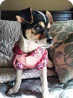Jack Russell Terrier/Chihuahua Mix Puppy for adoption in Ogden, Utah - Penny