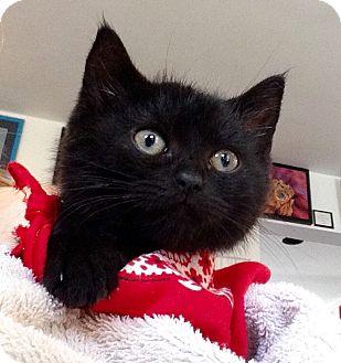 Domestic Shorthair Kitten for adoption in Baltimore, Maryland - Ramona