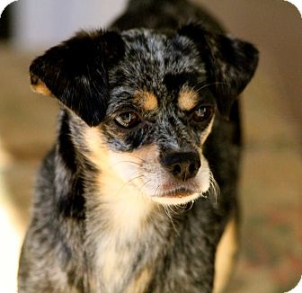 Chihuahua/Cocker Spaniel Mix Dog for adoption in Cooperstown, New York - Ginger