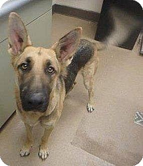 German Shepherd Dog Dog for adoption in Lake Oswego, Oregon - RUDY von RIDENT