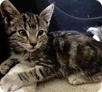 Domestic Shorthair Kitten for adoption in Fountain Hills, Arizona - NEKO