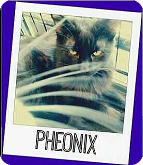 Domestic Longhair Cat for adoption in Riverview, Florida - Phoenix