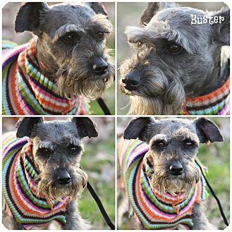 Miniature Schnauzer Dog for adoption in Brattleboro, Vermont - Buster