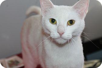 Domestic Shorthair Cat for adoption in Naperville, Illinois - Denver