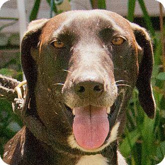 Labrador Retriever/Hound (Unknown Type) Mix Dog for adoption in Burlington, Vermont - POLLY
