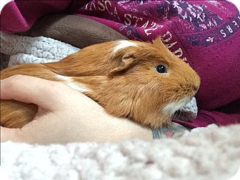 Guinea Pig for adoption in St. Paul, Minnesota - Kevin