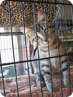 Domestic Shorthair Kitten for adoption in Flora, Illinois - Cubby