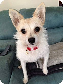 Chihuahua/Terrier (Unknown Type, Small) Mix Dog for adoption in Lexington, North Carolina - Gracie