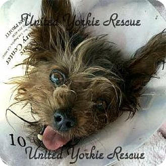 Yorkie, Yorkshire Terrier Dog for adoption in LE MESA, California - Juliet