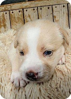 Border Collie Mix Puppy for adoption in Allen, Texas - Pumpkin