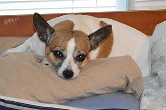 Jack Russell Terrier Dog for adoption in LaGrange, Ohio - Pumpkin