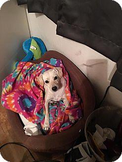 Beagle/Chihuahua Mix Dog for adoption in San Diego, California - Blanca