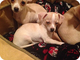 Chihuahua Mix Puppy for adoption in Winchester, California - George