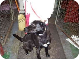 Labrador Retriever Mix Dog for adoption in Millerton, Pennsylvania - Tar Tar