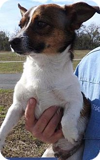 Chihuahua/Jack Russell Terrier Mix Dog for adoption in Gainesville, Florida - Potter