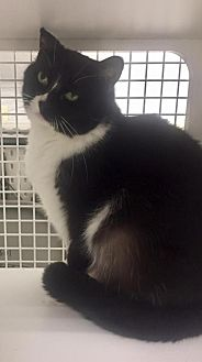 Domestic Mediumhair Cat for adoption in Napa, California - Vacaville - Sarita