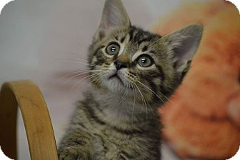 American Shorthair Kitten for adoption in Rockwood, Tennessee - VINNY