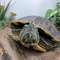 Adopt A Pet :: Vinny - Pefferlaw, ON