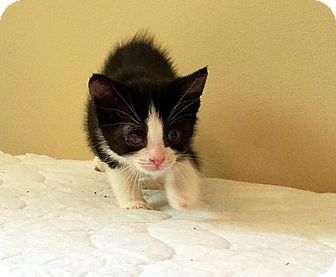 Domestic Shorthair Kitten for adoption in Toms River, New Jersey - Ham