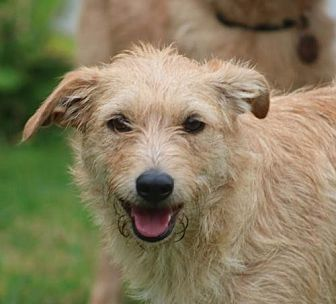 Border Terrier/Shepherd (Unknown Type) Mix Dog for adoption in San Diego, California - Laney