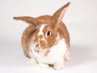 Lop, English/Other/Unknown Mix for adoption in Kingston, Ontario - Winnie