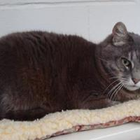 Domestic Shorthair/Domestic Shorthair Mix Cat for adoption in Long Beach, Washington - Ashley