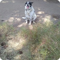 Australian Cattle Dog Dog for adoption in Chiloquin, Oregon - Lucy