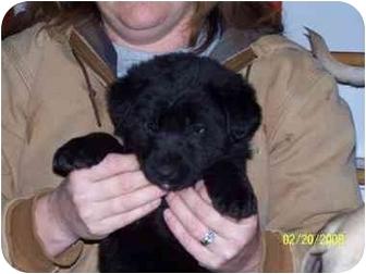 German Shepherd Dog/Labrador Retriever Mix Puppy for adoption in Ripley, Ohio - Lisey