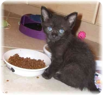 Burmese Kitten for adoption in Naples, Florida - Skya