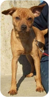 Chihuahua/Terrier (Unknown Type, Small) Mix Puppy for adoption in North Judson, Indiana - Peppy