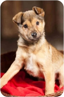 Husky/German Shepherd Dog Mix Puppy for adoption in Portland, Oregon - Lana