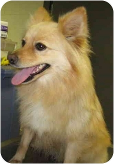 Pomeranian Dog for adoption in Stillwater, Oklahoma - Poo (Bear)