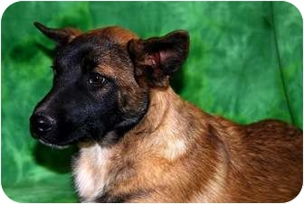 Belgian Malinois/Shepherd (Unknown Type) Mix Puppy for adoption in Broomfield, Colorado - Major