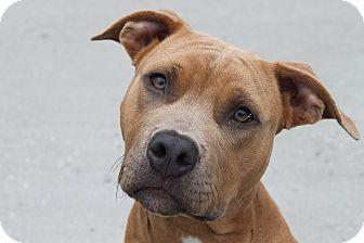 American Staffordshire Terrier/Shar Pei Mix Dog for adoption in HARRISONVILLE, Missouri - MoJo