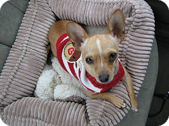 Chihuahua Dog for adoption in Bellflower, California - Becker