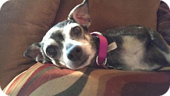 Chihuahua Dog for adoption in Manahawkin, New Jersey - Penny