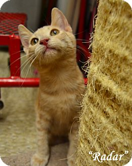 Domestic Shorthair Kitten for adoption in Arlington/Ft Worth, Texas - Radar