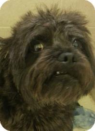 Lhasa Apso Mix Dog for adoption in Philadelphia, Pennsylvania - Miso