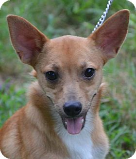 Terrier (Unknown Type, Small) Mix Puppy for adoption in Staunton, Virginia - Angel