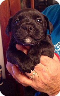 Border Terrier/Labrador Retriever Mix Puppy for adoption in ST LOUIS, Missouri - Nilly