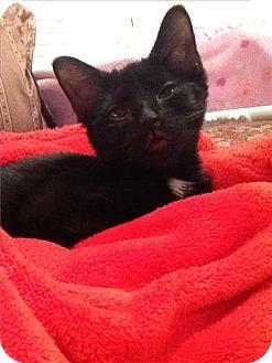 Domestic Shorthair Kitten for adoption in Freeport, New York - Darla
