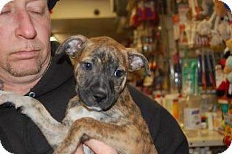 Pit Bull Terrier Mix Puppy for adoption in Brooklyn, New York - Ralph