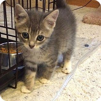 Domestic Shorthair Kitten for adoption in Ogallala, Nebraska - Kitt