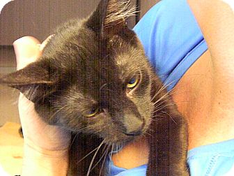 Domestic Shorthair Cat for adoption in Indianola, Iowa - O11